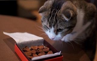 I gatti non possono mangiare la cioccolata