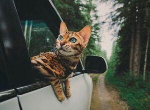 Viaggiare con il proprio gatto in auto