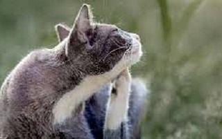 allergia del gatto