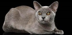 Gatti che non perdono peli Birmano o Burmese