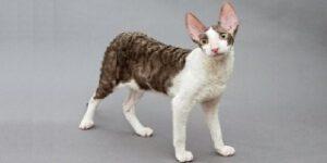 Gatti che non perdono peli Cornish Rex