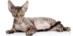 Gatti che non perdono peli Devon Rex