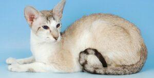 Gatti che non perdono peli Gatto Orientale Shorthair