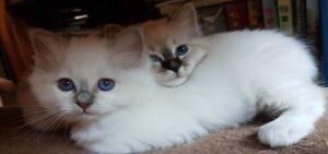 Gatti che non perdono peli Sacro di Birmania