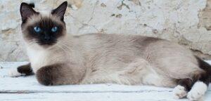 Gatti che non perdono peli Siamese