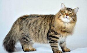 Gatti che non perdono peli Siberiano