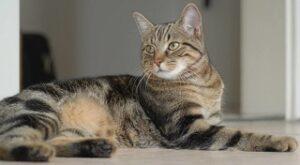 gatti giganti Brazilian Shorthair