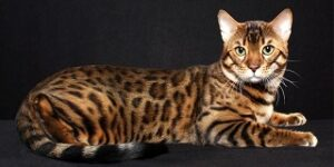 gatti giganti bengala