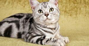 Gatti facili da addestrare American Shorthair