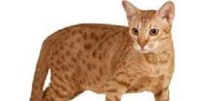 Gatti facili da addestrare Ocicat