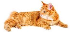 Gatti senza coda Bobtail Americano