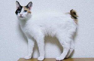 Gatti senza coda Bobtail Giapponese