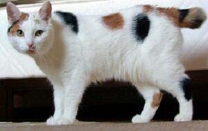 Gatti con coda corta GATTO DELL'ISOLA DI MAN