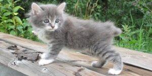 Gatti senza coda KURILIAN BOBTAIL