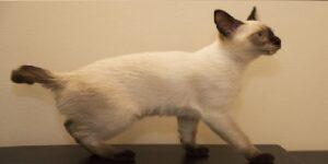 Gatti senza coda MEKONG BOBTAIL
