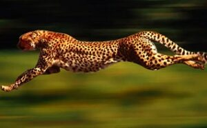 Gli animali più veloci Ghepardo