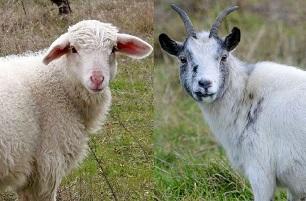 Nomi per capre e pecore